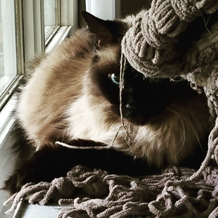 image of Matilda the Fuzzy Sealpoint Cat sitting on the arm of the couch, peering at me from behind a shredded bit of blanket