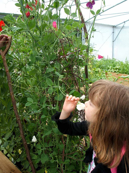 little girl enjoys the scent of sweet peas growing in a polytunnel at windmill hill city farm, bristol