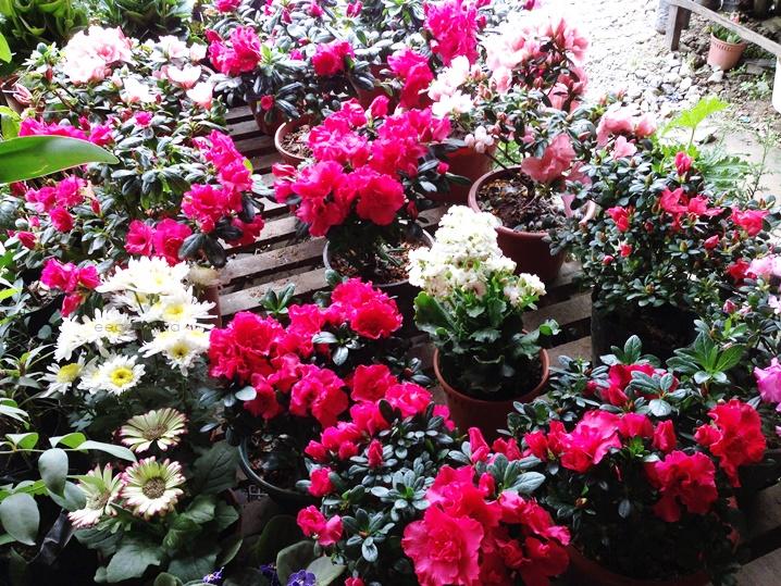 bunga kundasang