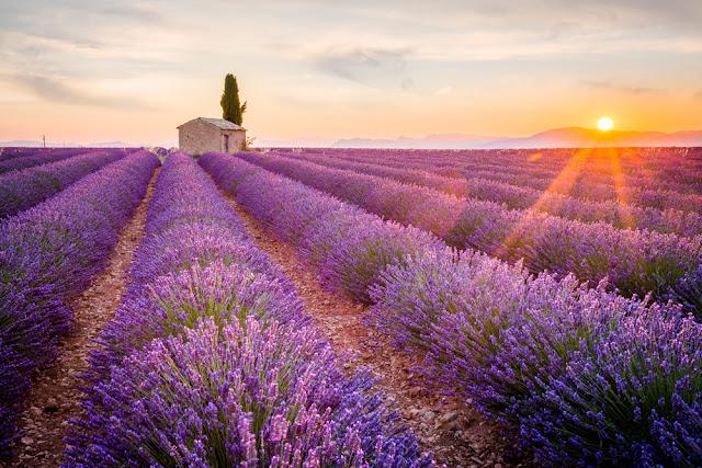 cánh đồng hoa oải hương đẹp nhất thế giới 20