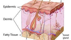 Struktur lapisan kulit, epidermis, dermis, hipodermis, kulit ari, lapisan jangat, tanduk, lapisan lemak kulit, fatty tissue