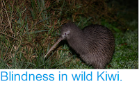 https://sciencythoughts.blogspot.com/2017/09/blindness-in-wild-kiwi.html