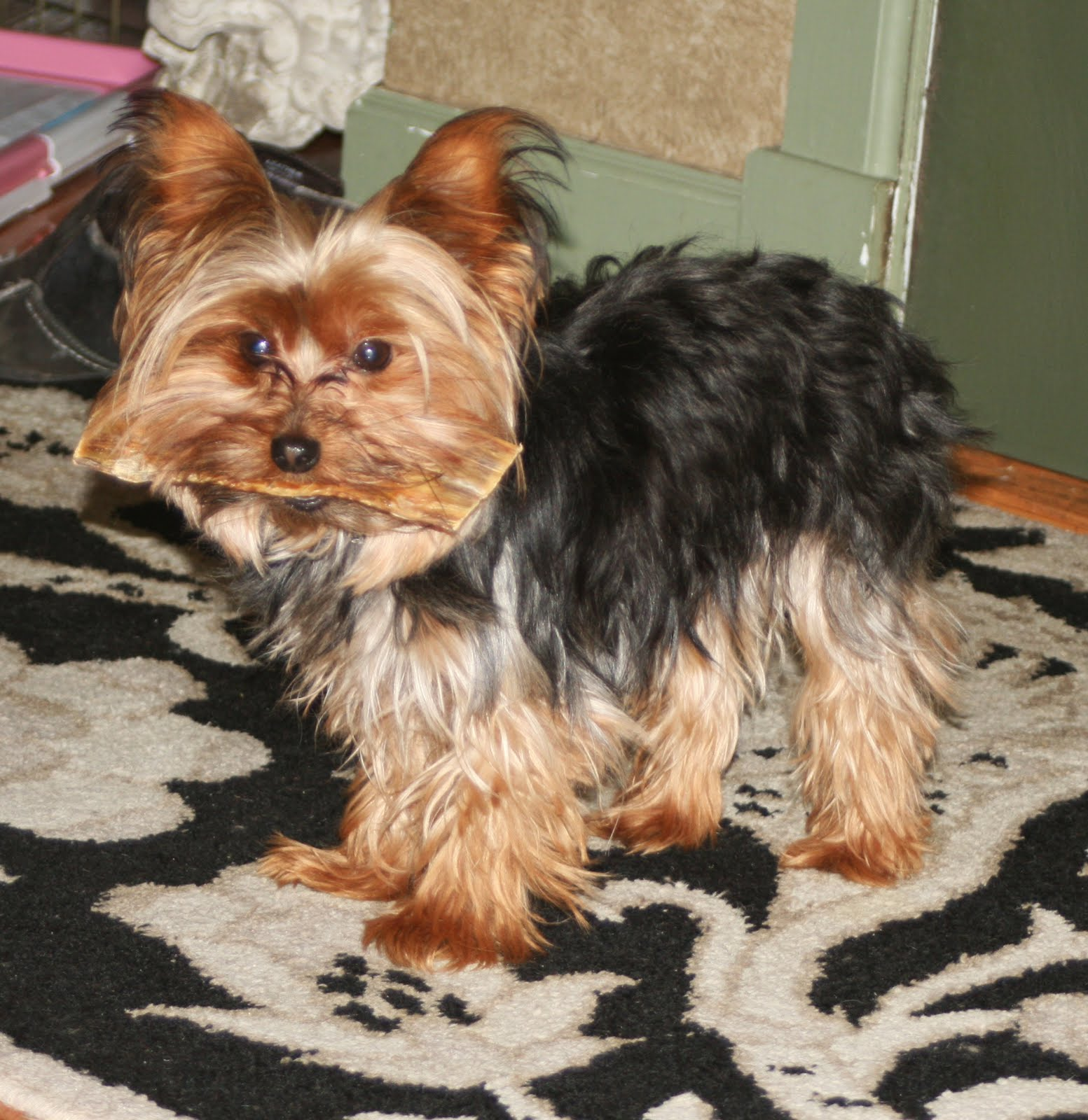 minature yorkie miniature yorkshire terrier do all yorkshire terriers run 5915
