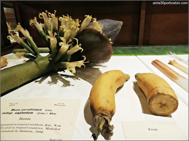 Las Flores de Vidrio en el Harvard Museum of Natural History