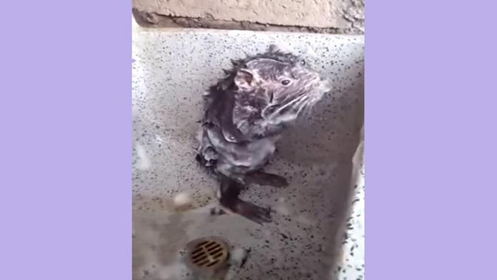 Topo si lava da solo nella doccia - Video