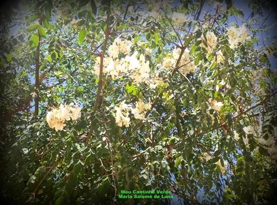 Flores da MORINGA, ACÁCIA-BRANCA