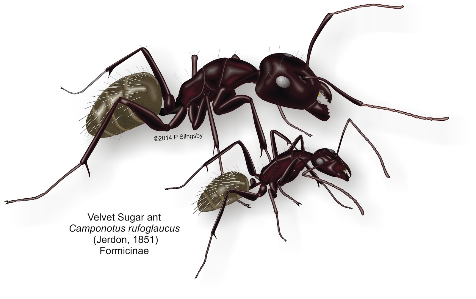 Ants of Southern Africa -: Ant Catalogue: Southern Africa