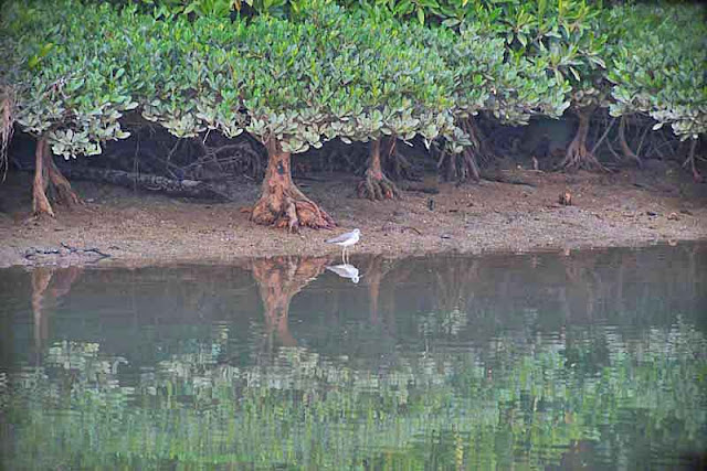 bird, mangrove trees, river, reflections