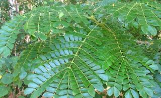 gambar daun trembesi