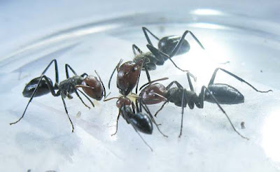 Majors, median and minor of Camponotus saundersi