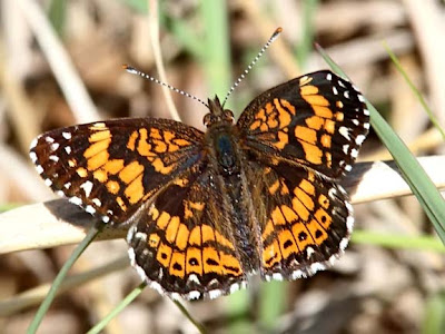 Gorgon Checkerspot