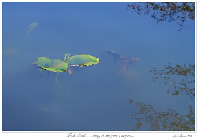 Fresh Pond: ... rising to the pond's surface...