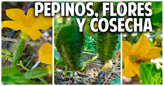 Como sembrar pepino en casa parte 3 - Polinización y Cosecha - 1