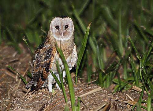 Indian birds -Eastern grass-owl - Tyto longimembris