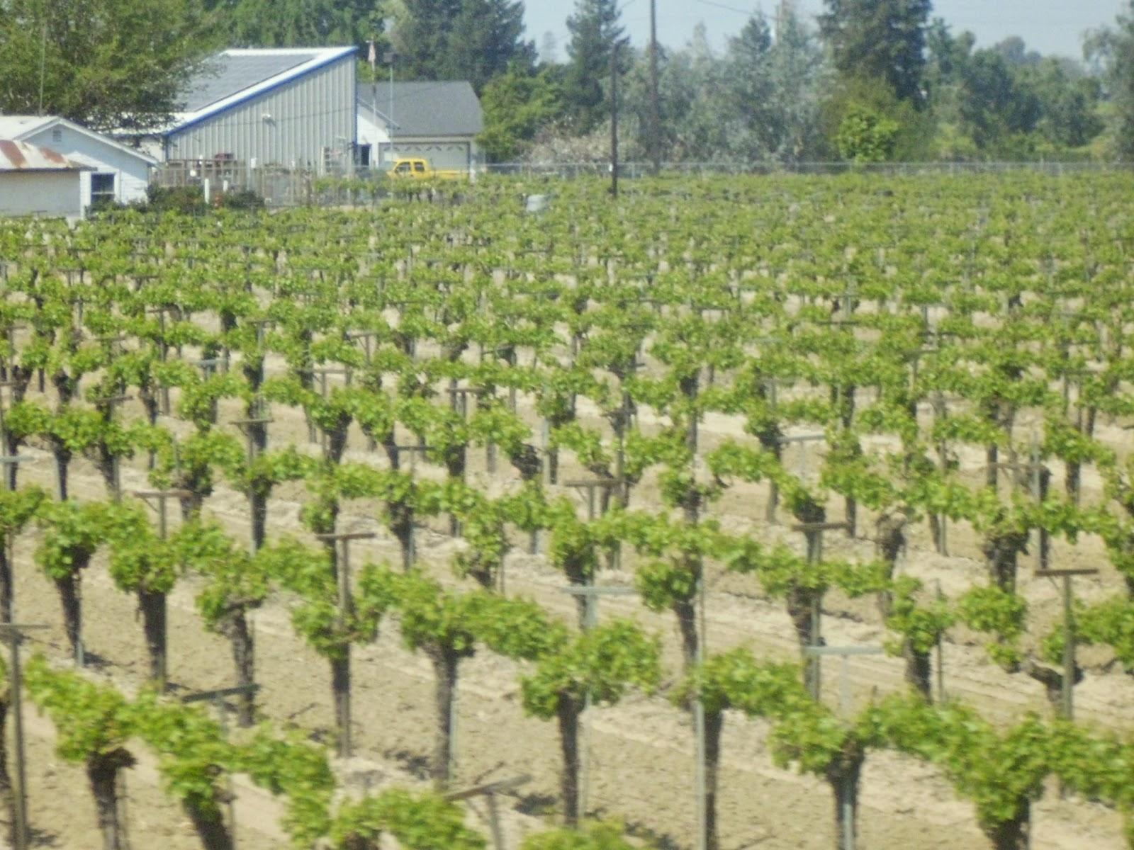 Central Valley Vineyard 2