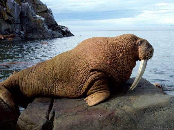 Life Of Walrus Life Of Sea