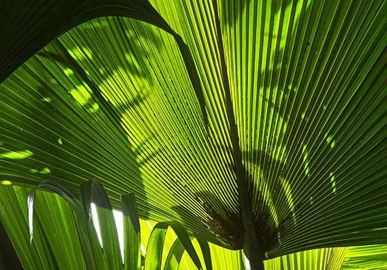Qual é a maior semente do mundo?  Folhas%2Bdo%2Bcoqueiro-domar