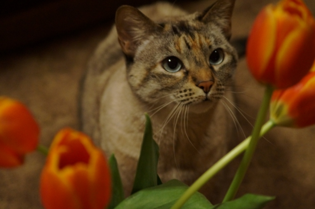 Katie, cat, tulips, orange