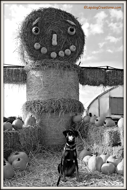 doberman puppy with giant hay man and pumpkins
