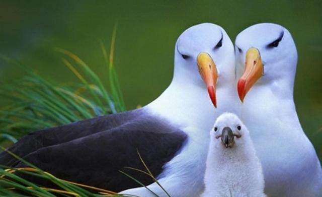 Burung Albatross Hewan Paling Setia Di Dunia Pada Pasangannya