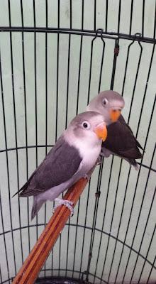 5 Burung paling populer di tanah air