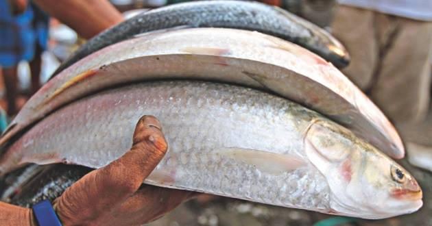Bangladesh Fish Picture | Bangladesh Fish Photo ilish mach