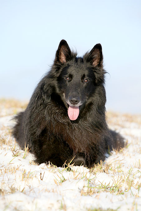 Everything About Your Belgian Sheepdog Luv My Dogs