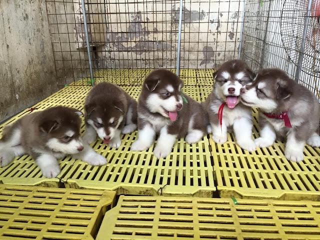 Tổng hợp một số đàn chó alaska con