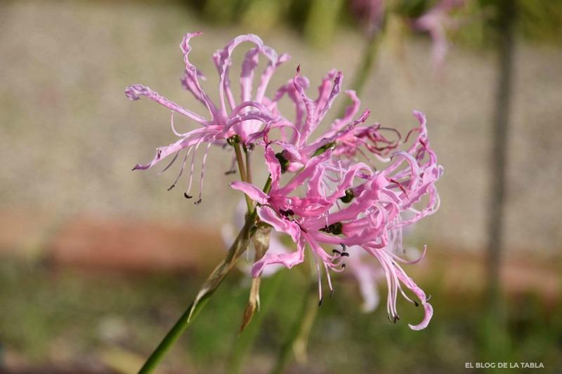 Nerine undulata (Flor de El Cabo) especie bulbosa de Sudáfrica