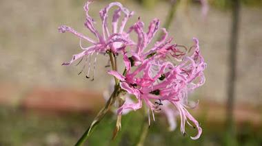 Plantas que florecen en invierno: Nerine undulata (Flor de El Cabo)