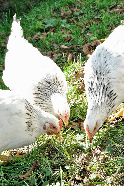 hühner rupfen den hahn