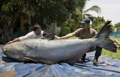 biggest paroon shark ever!