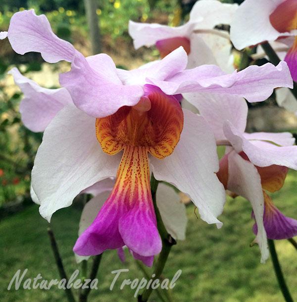 Flor de una especie de Vanda