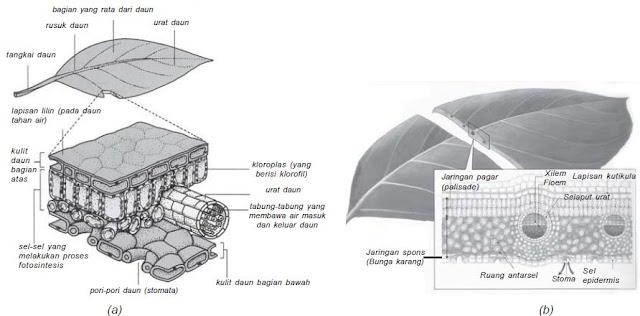 (a) Struktur daun, dan (b) penampang melintang daun