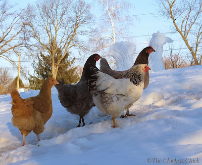 Wherever you live, your chickens will naturally acclimate to the changes in temperature from season to season.  Regardless of where you come down on the issue of heating the chicken coop, please remember that a chicken's physiology is not the same as a person's. Our perception of how cold we would be in the coop at night is not the same as a chicken's perception.