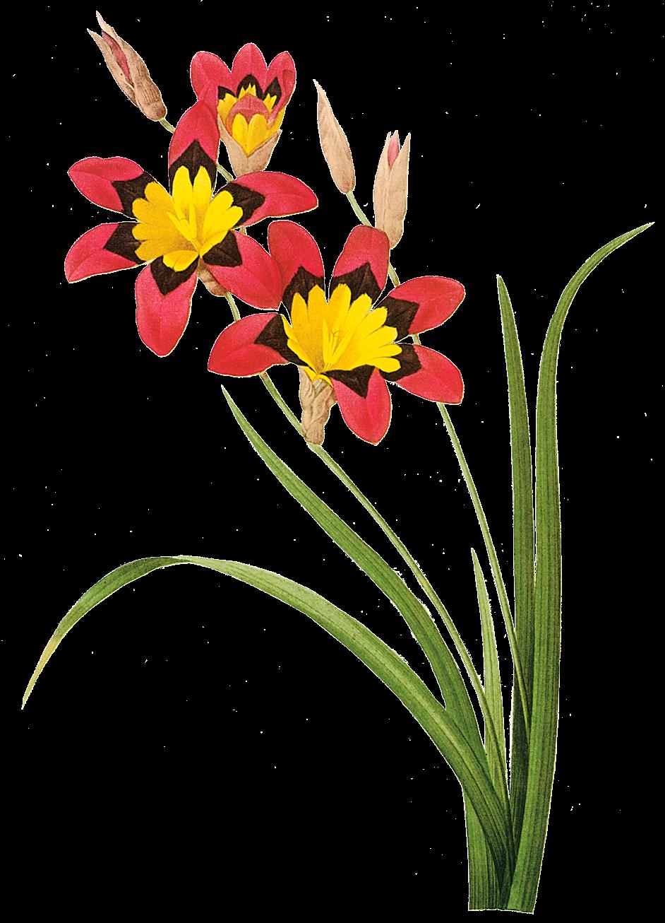 Imagens PNG - flores #2   Imagens para photoshop