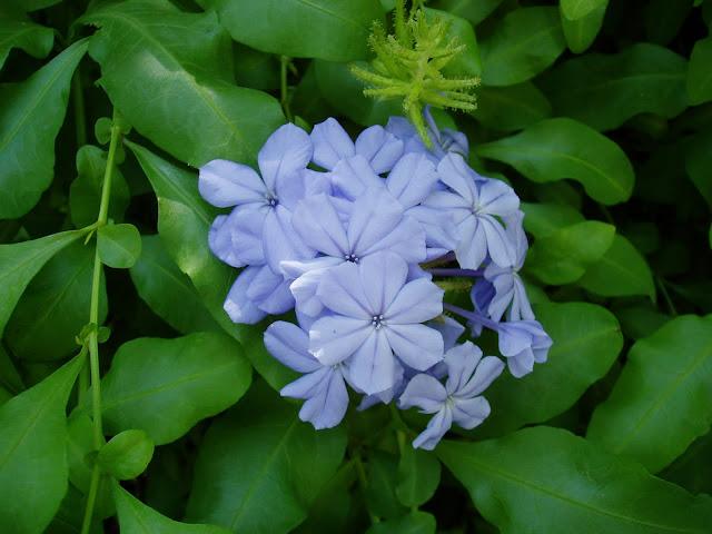 Flores del JAZMÍN DE CIELO: Plumbago auriculata