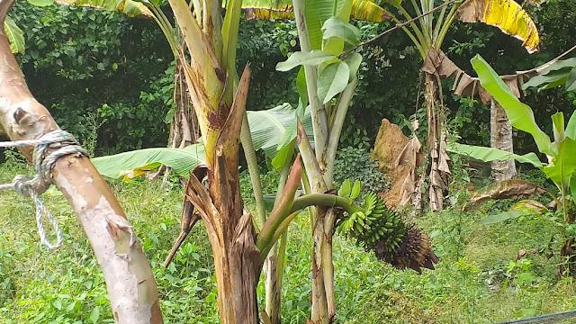 Warga Sarolangun Temukan Pisang Berbuah di Tengah Batang