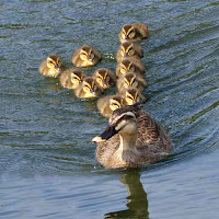 Yaban ördeği ve yavruları