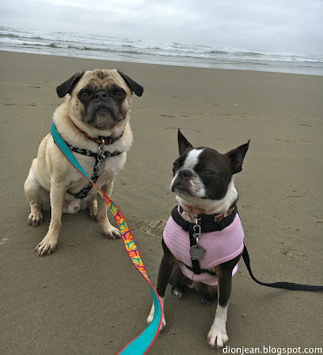 Liam the pug and Sinead the Boston terrier at the beach