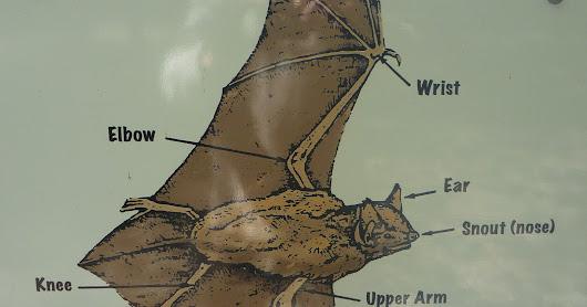 Townsends Big Eared Bats At Kentucky Stamp Mill General Bat Anatomy