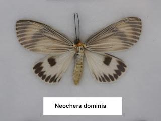Neochera dominia