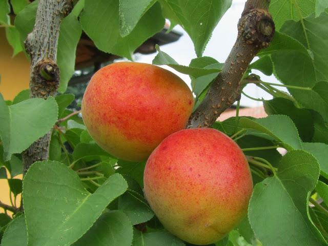 Frutti albicocco pisana