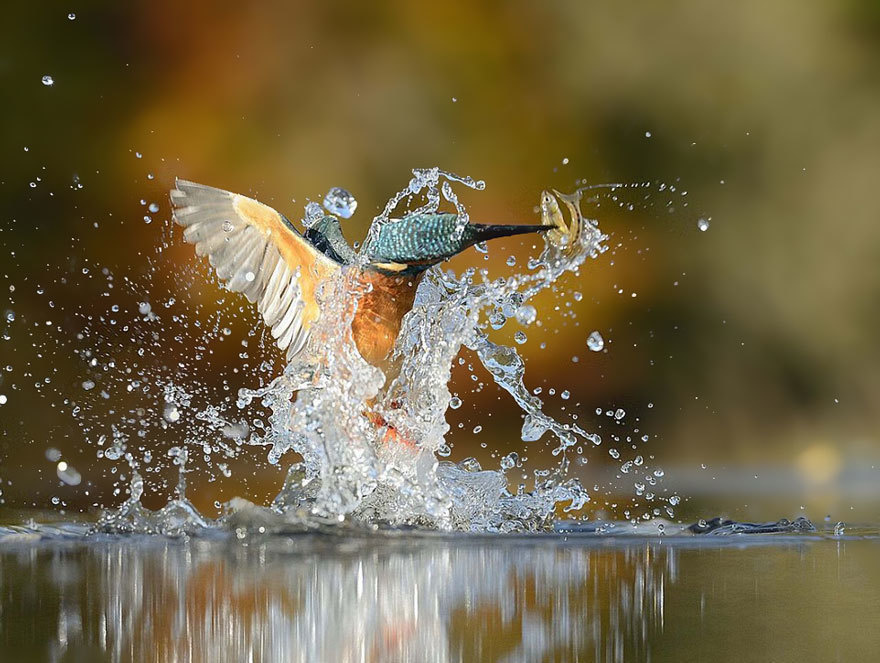 kingfisher catch the fish