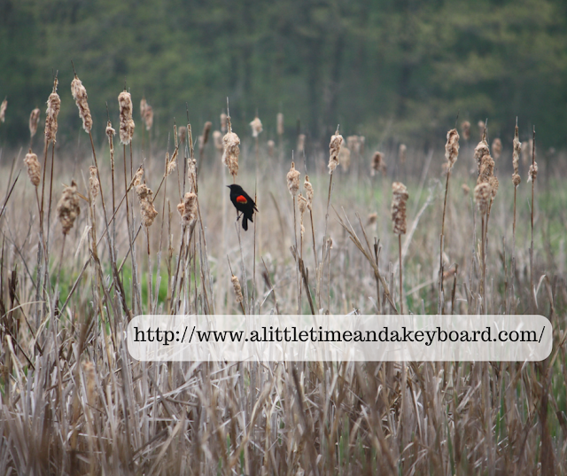 Red winged blackbird on a reed in Spring Lake Forest Preserve in Barrington, Illinois