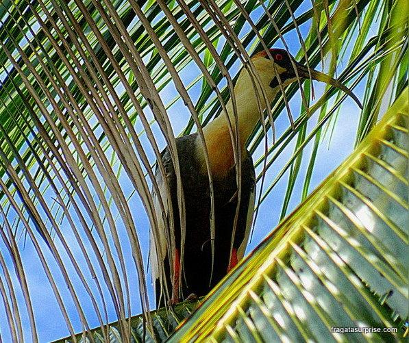 Curicaca, ave típica do Cerrado e do Pantanal
