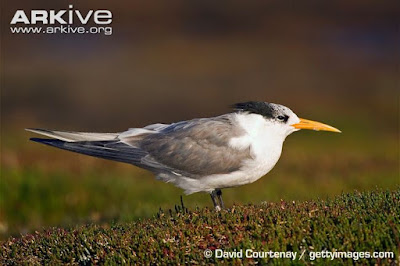 Greater crested Tern non breeding plumage