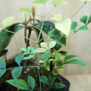 黒松の寄植盆栽 南天