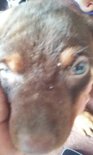PERGUNTE AO VET #4 Cachorro com coceira, crostas e ferimentos