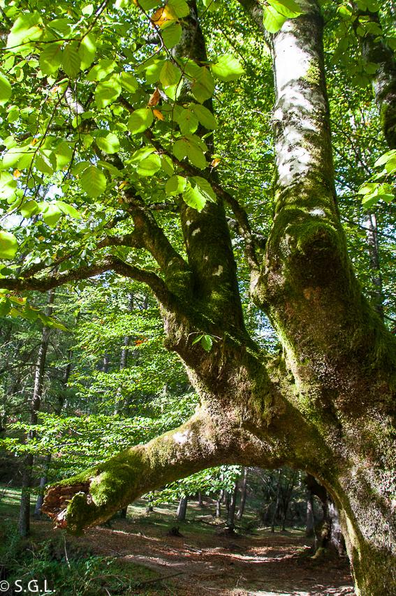 Hayedo de Otzarreta en parque natural de Gorbeia en Bizkaia